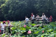 Lotusi si nuferi in Oradea